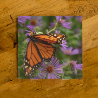 Monarch Butterfly on Aster Ceramic Drink Coaster I | Butterfly Coaster | Monarch Art