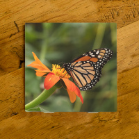 Monarch Butterfly on Zinnia Ceramic Drink Coaster  | Butterfly Coaster | Monarch Art