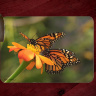 Monarch Butterflies Glass Cutting Board 8x11 and 12x15  | Monarch on Zinnia Art Counter Protector | Butterfly Home Decor