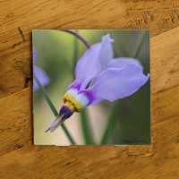 Shooting Star Wildflower Photo Ceramic Coaster