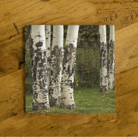 Aspen Tree Trunks in Colorado Ceramic Drink Coaster