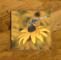 Dragonfly on Black-eyed Susan Photo Ceramic Drink Coaster