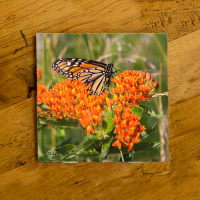 Monarch Butterfly on Milkweed Ceramic Drink Coaster | Butterfly Coaster | Monarch Art