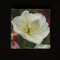 "White Tulip Close 6""  Tumbled Stone Trivet"