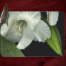 White Gladiola  Photo Tempered Glass Cutting Board