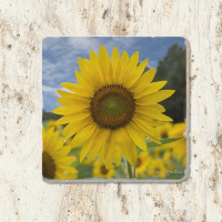 Sunflower Field Tumbled Stone Drink Coaster