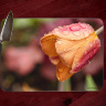 Pink & Peach  Tulip with Water Drops Photo Tempered Glass Cutting Board 8x11 and 12x15